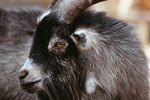 How to Remove Buck Goat Odor
