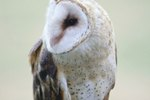 Difference Between a Male & Female Barn Owl