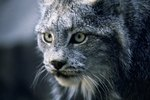 The Major Characteristics of a Bobcat