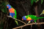 How to Breed Rainbow Lorikeets