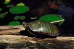 What Adaptations Does the Turtle Have to Help it Survive in the Freshwater Biome?