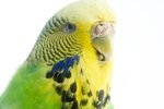 How to Breed for Color in Budgies
