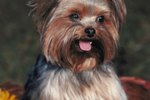 Ten Things to Know About Yorkie Puppies