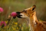 Foxes That Live in Temperate Grasslands