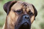 Chewing Habits of the Mastiff