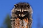 Wild Raccoon Adaptations
