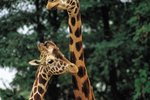 Adaptations of Giraffes to Live in a Savannah