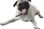 What Pugs Should & Should Not Eat