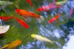How to Make Koi Change Colors