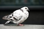 How to Make a Pigeon Trap