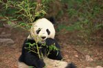 What Are the Differences Between Male & Female Pandas?