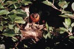 What Do Baby Robins Eat Besides Worms?