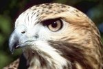 The Mating Habits of the Red-Tailed Hawk