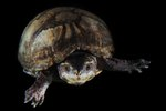 How to Measure Turtle Length & Age
