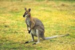 Are All Types of Kangaroos Nocturnal?