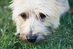 How to Heal Dry & Irritated Skin on Cairn Terriers