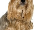 How to Get Tangles Out of a Yorkie Dog's Hair