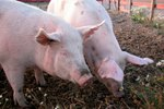 How to Breed Sows After Farrowing