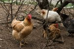 Natural Ways to Get Rid of Mites in Chickens