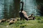 Natural Ways to Get Rid of Geese