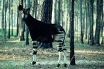 What Do Okapis Eat?