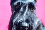 Step-by-Step Giant Schnauzer Groom Cuts