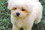 How to Choose a Maltese Puppy