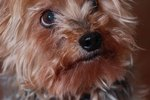 Yorkies as Service Animals