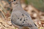 How to Determine the Age of a Mourning Dove Hatchling