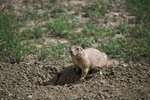 What Is the Food Chain for the Prairie Dog?