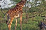Facts & Information About Giraffes