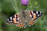 The Best Way to Make a Solution of Sugar Water for Newly Hatched Painted Lady Butterflies