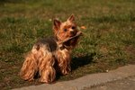 Yorkshire Terriers & Urinary Infections