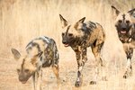 Natural Habitat of African Wild Dogs