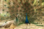 Visual Differences Between Male & Female Peacocks