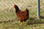 How to Raise Rhode Island Red Laying Hens