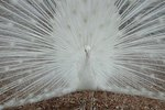 White Peacock Bird Information