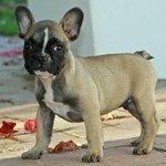 ** Duke the french bulldog