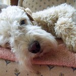 EMMY the Lakeland Terrier