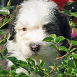 Otis the Sheepdog