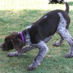 Max the German Wirehaired Pointer
