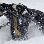 Radley the Teenage Greater Swiss Mountain Dog