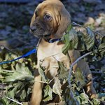 Cooper the Bloodhound