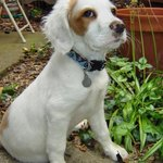 Marley the Brittany