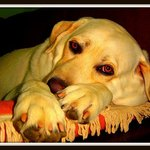 Flaxseed oil is beneficial for a dog's coat.