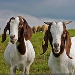 Meat goat production funding can come from grants.