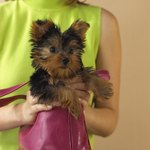 Visit Petfinder.org and enter Yorkshire Terrier into the search engine to find Yorkies in your area.