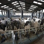 Dairy cows being milked