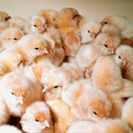 Selling live chicks can be profitable.