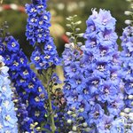 Large cluster of blue delphiniums.